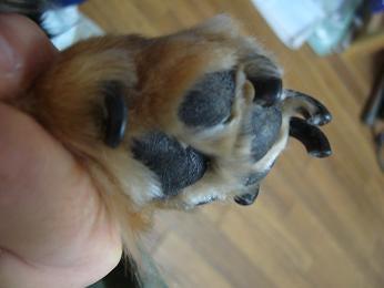 母犬の爪・前