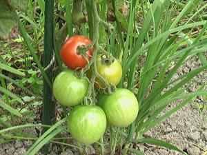 0628トマト
