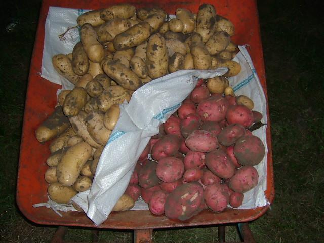 ジャガイモ収穫(その2)