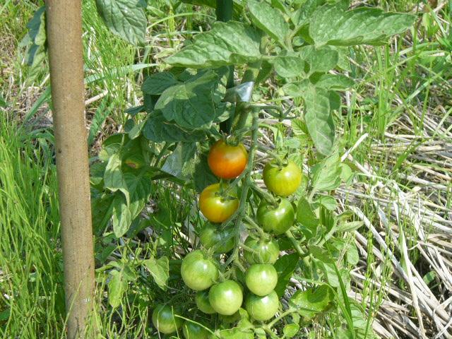 トマト0626
