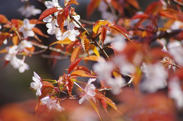 resize1897山桜