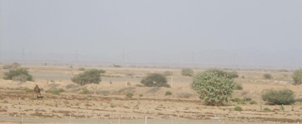 ラクダのいる風景2