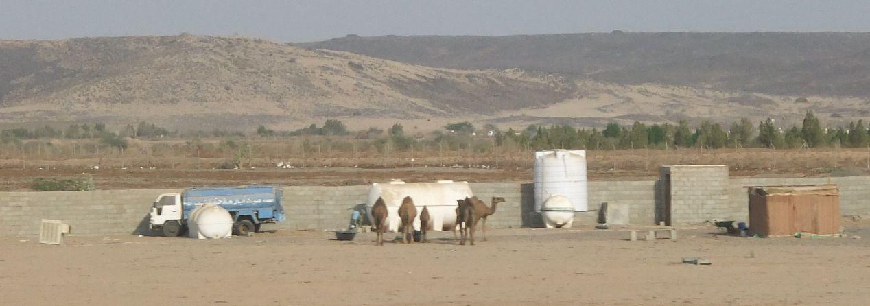 ラクダのいる風景1
