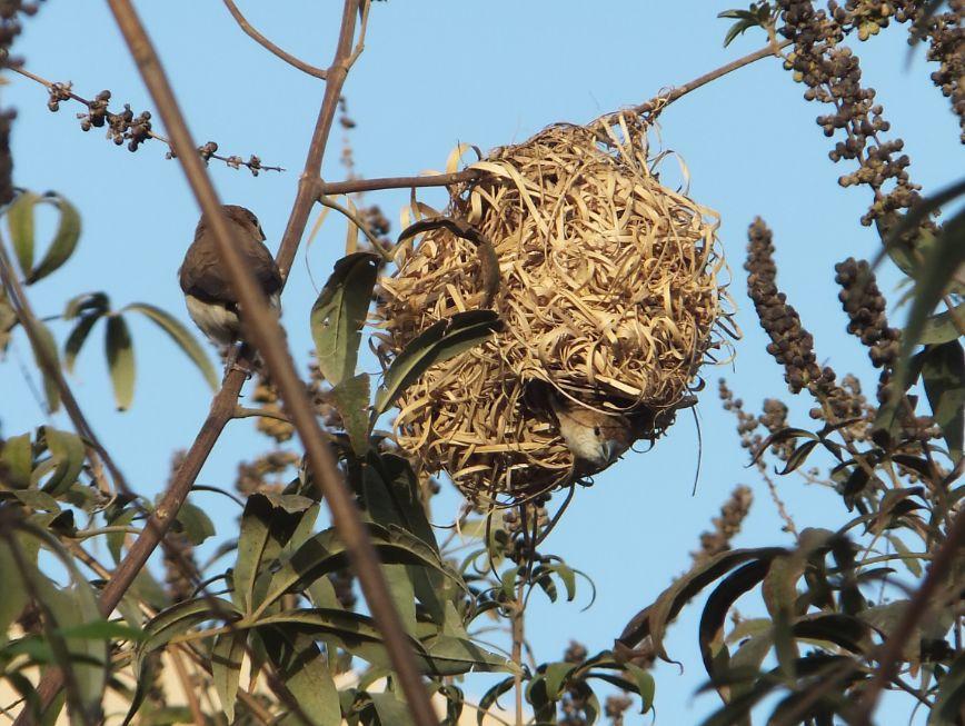 20120302ハタオリドリの巣にギンバシが侵入2