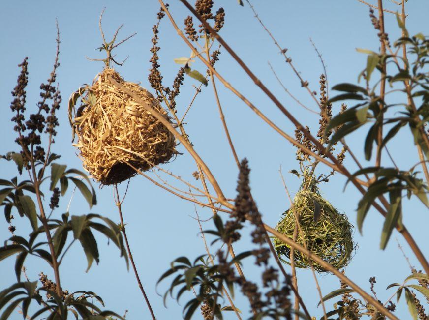 20120302ハタオリドリの緑の巣