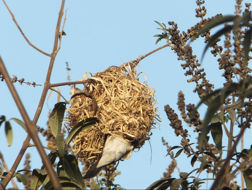 20120302ハタオリドリの巣にギンバシが侵入4