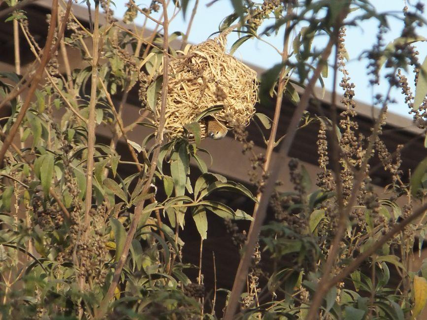 20120302ハタオリドリの巣にギンバシが侵入5