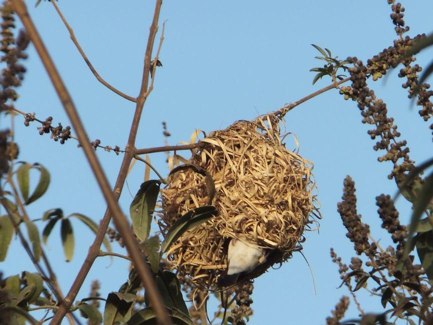 20120302ハタオリドリの巣にギンバシが侵入1