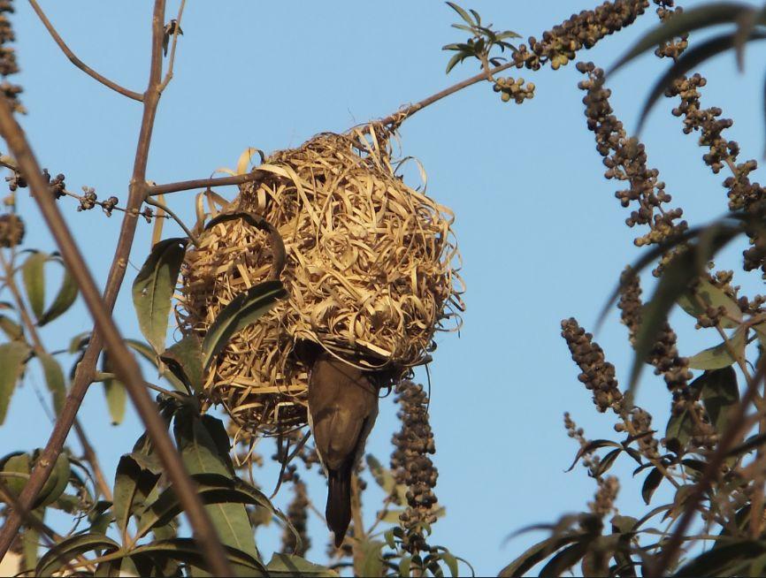 20120302ハタオリドリの巣にギンバシが侵入3