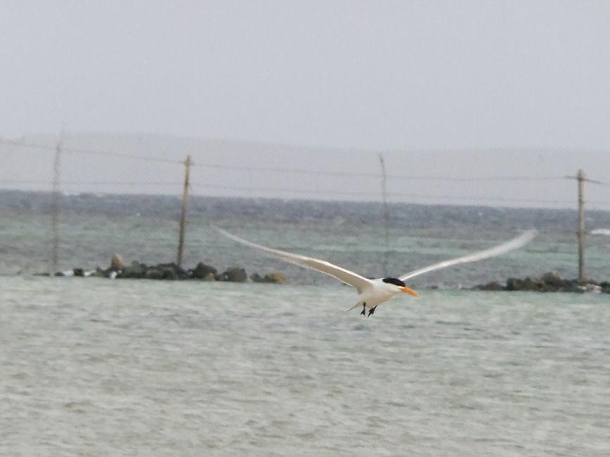 アジサシ6空を飛ぶアジサシ