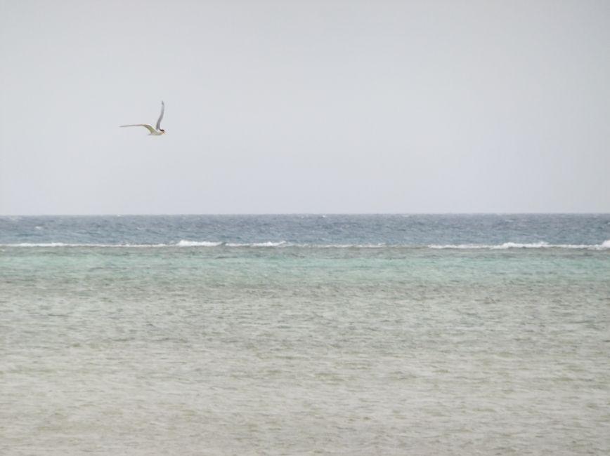 アジサシ7空を飛ぶアジサシ