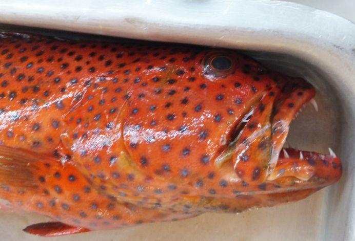 サウジの魚6