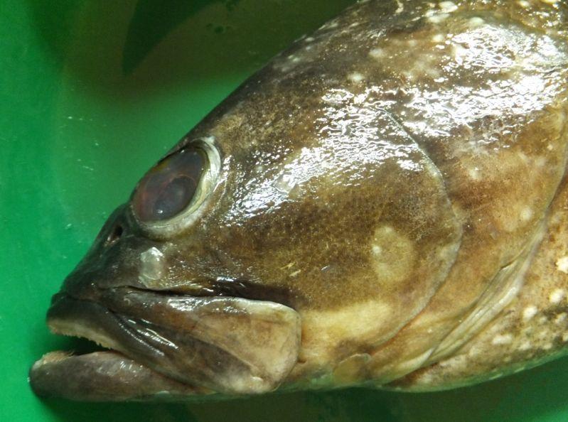 サウジの魚7