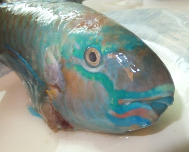 青い魚 少し間抜け気味