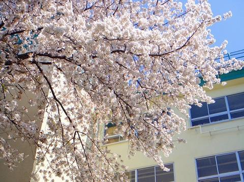 110415 校舎と桜_m