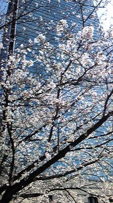 TACと桜