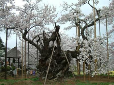山高神代桜(山梨)