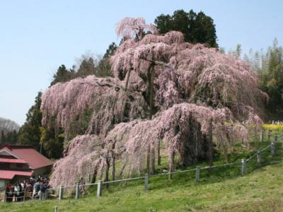 三春滝桜(福島)