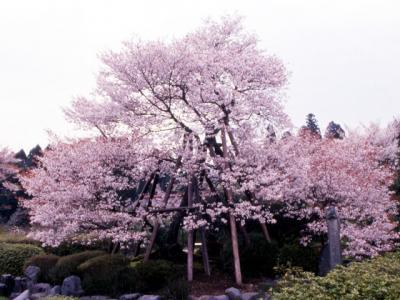 狩宿の下馬桜(静岡)