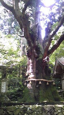 大杵社の大杉①