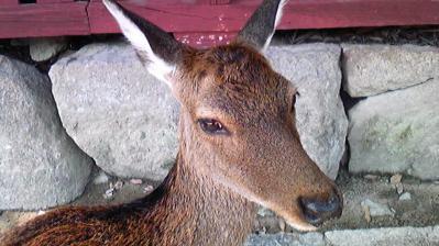 宮島の鹿③