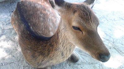 宮島の鹿②