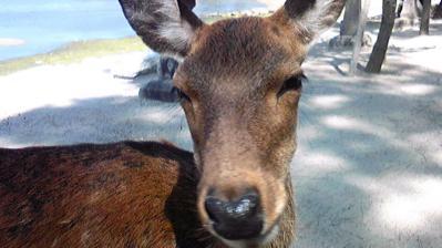 宮島の鹿①