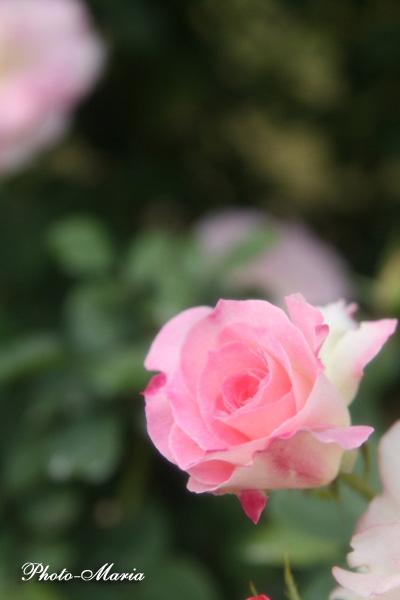 08a-rose83.jpg