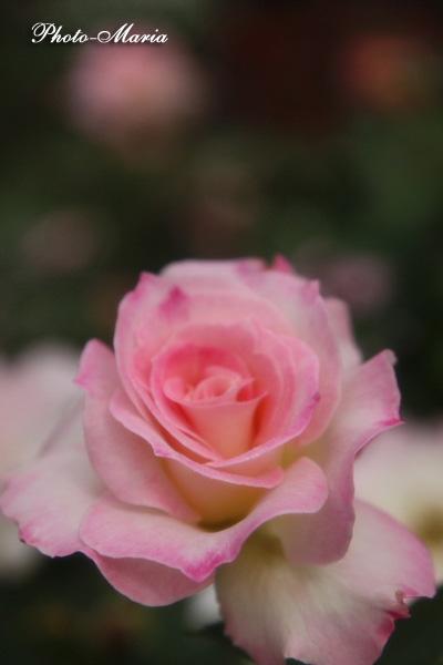 08a-rose88.jpg