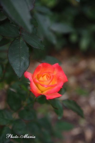 2-c2-08a-rose51.jpg