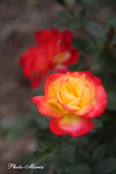 3-c1-08a-rose47.jpg