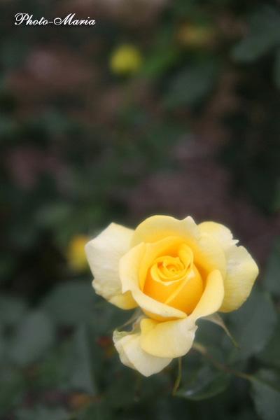a308a-rose57.jpg