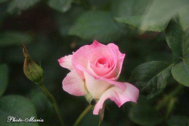 b2-08a-rose85.jpg