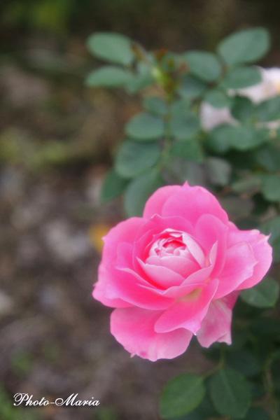 care2-08a-rose35.jpg