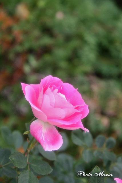 care3-08a-rose36.jpg
