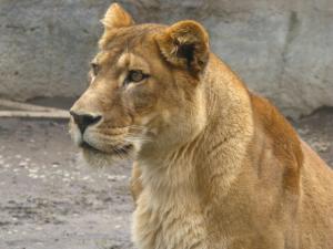 メスライオン