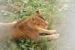 ライオン03