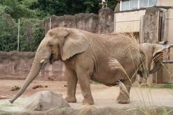 アフリカゾウ01