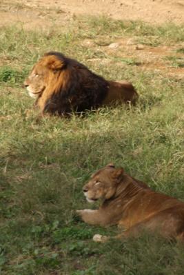 夫婦ライオン