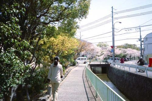 桜並木が見え始める