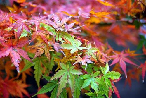 中庭のイロハモミジの紅葉