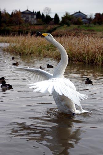 田尻池 白鳥