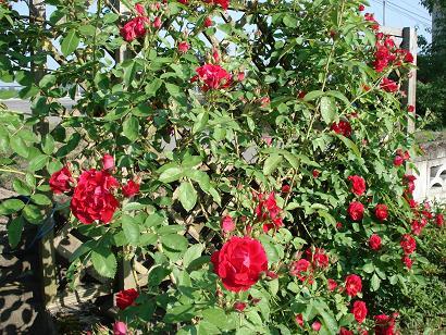 つる薔薇一気に咲き始めました