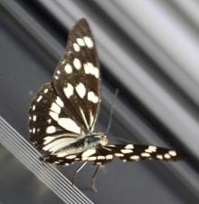 なんていう蝶ちょ?