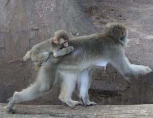 おんぶ子猿
