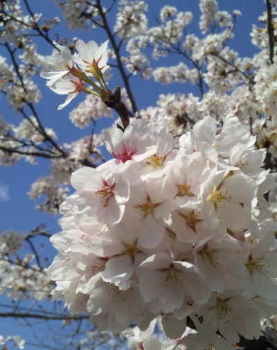 2011年4月12日桜満開