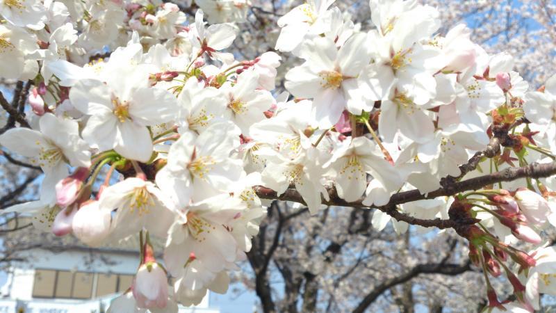 4月11日 桜