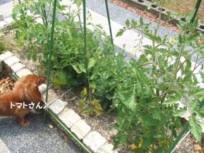 家庭菜園のトマトって皮が固いのよね。