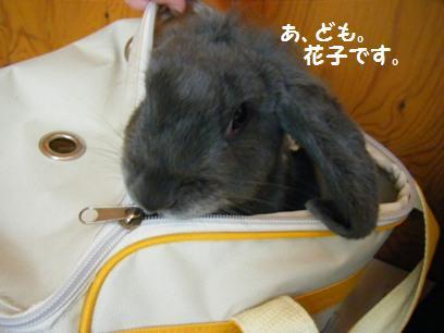 花子の行動はイヌみたいです。ウサギじゃないのかも(笑)