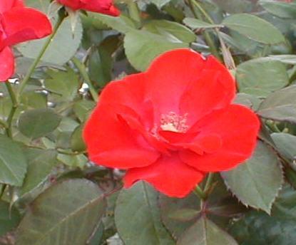 バラ・カザグルマ 2009.6.14